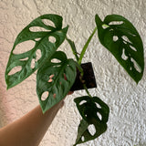 Swiss Cheese House Plant - Philodendron Adonsonii Houseplant