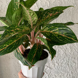 Aglaonema 'Butterfly' Houseplant - Chinese Evergreen 'Butterfly' House Plant