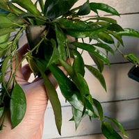 Hoya Lacunosa Houseplant - Flowering Wax House Plant