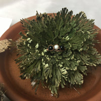 Resurrection Plant + Handmade Ring - Rose of Jerricho and Handmade Wire Ring - Great Gift Idea!