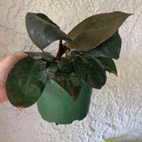 Philodendron Black Cardinal Houseplant