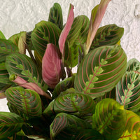 Red Prayer Houseplant - Maranta leuconeura - Rooted House Plant
