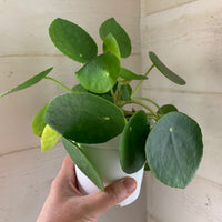 Pilea peperomioides Houseplant - Chines Money House Plant - Live Rooted Plant