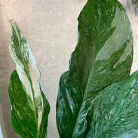 Spathiphyllum 'Domino' House Plant - Variegated Peacy Lily Houseplant