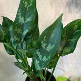 Chinese Evergreen 'Maria' Houseplant - Aglaonema House Plant - Live Rooted Plant