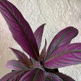 Persian Shield House Plant - Strobilanthes dyerianus Houseplant