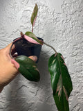 Pink Princess Philodendron House Plant