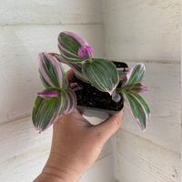 Trandescantia Lilac Houseplant - Wandering Jew - Trandescantia Luminensis Houseplant