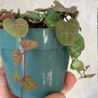 String of Hearts House Plant - CEROPEGIA WOODII Houseplant - Rosary Vine