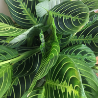 Maranta leuconeura 'Marisela' House Plant - Lemon Lime Prayer Plant - Maranta Houseplant - Live Rooted