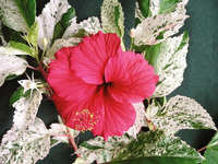 Hibiscus 'Snow Queen' House Plant - Hibiscus rosa-sinensis 'Snow Queen' Houseplant