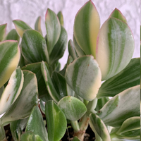 Variegated Jade Succulent Houseplant - Crassula ovata 'Lemon & Lime' Plant - Rooted Houseplant