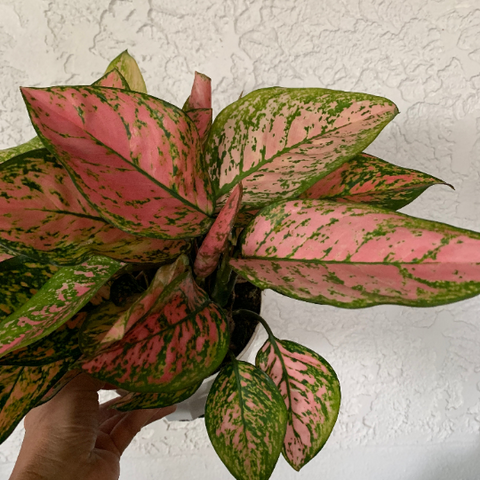 Chinese Evergreen 'Valentine' House Plant - Aglaonema Houseplant - Live Rooted Plant