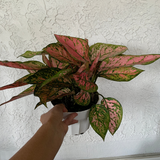 Chinese Evergreen Valentine Favonian House Plant - Aglaonema Houseplant - Live Rooted Plant