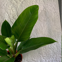 Philodendron Emerald Congo Houseplant