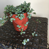 Red Stem Baby's Tears Houseplant - Pilea Glauca House Plant