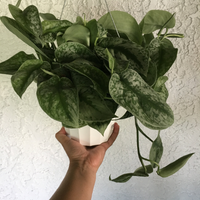 Scindapsus Pictus 'Exotica'Houseplant - Silver Pothos House Plant - Scindapsus pictus 'Argyraeus' - Live Rooted Plant
