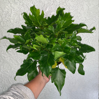 Philodendron 'Little Hope' Houseplant