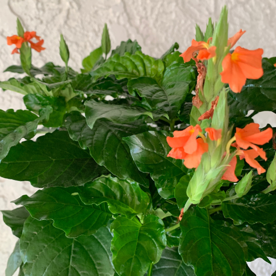 Crossandra Houseplant - Crossandra 'Orange Marmalade' - Rooted Houseplant