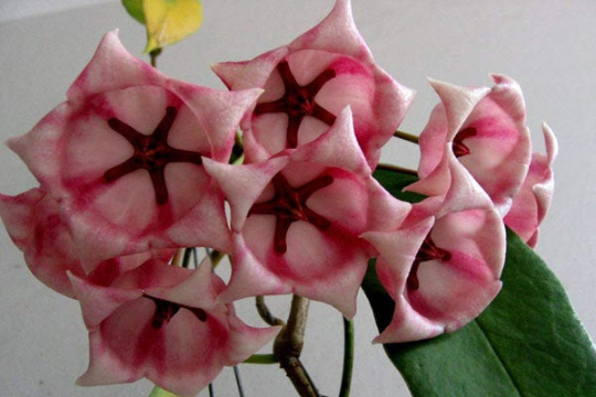 Hoya Archboldiana Pink Flower - Flowering Houseplant - HUGE Flowers