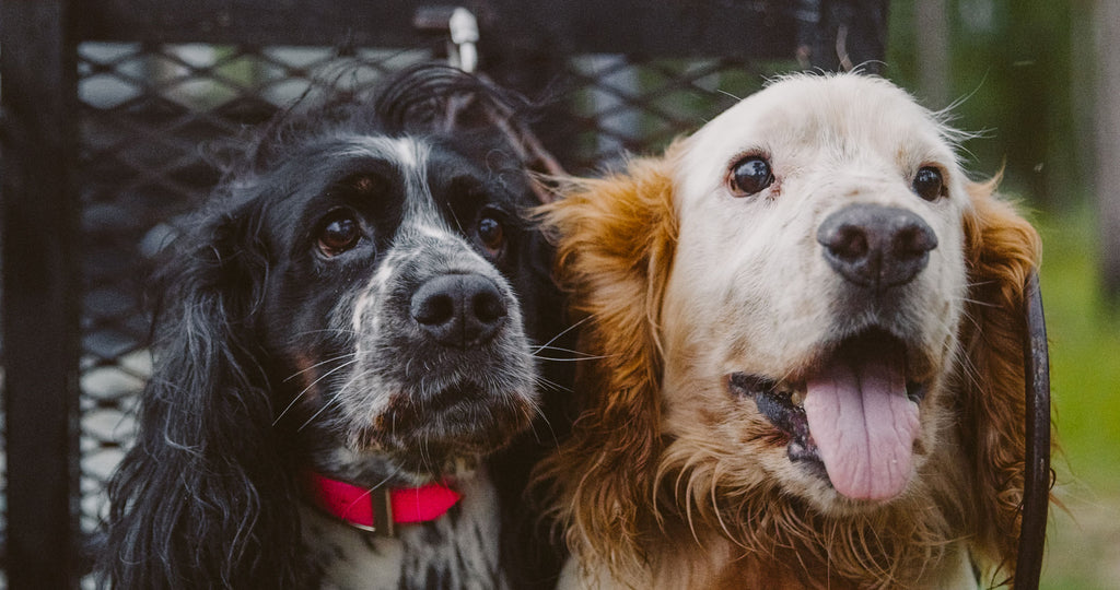 English Cocker Spaniels Saved by GUNNER Kennels Large Dog Crate