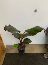 Load image into Gallery viewer, Red Abyssinian Banana Plant - Ensete Maurelii