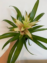 Load image into Gallery viewer, Bromeliad