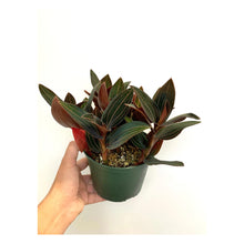 Load image into Gallery viewer, Jewel Orchid - Ludisia Discolor