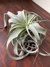 Load image into Gallery viewer, Tillandsia Xerographica - Air Plant - XL