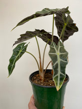 Load image into Gallery viewer, Alocasia Polly - African Mask Plant