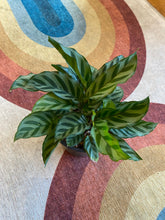 Load image into Gallery viewer, Calathea Concinna - Freddie 6""
