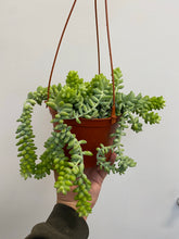 Load image into Gallery viewer, Donkey's Tail - Succulent Hanging Basket