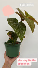 Load image into Gallery viewer, Angel Wing Begonia 6""