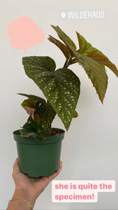 Angel Wing Begonia 6""