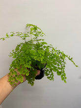 Load image into Gallery viewer, Maidenhair Fern