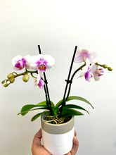 Load image into Gallery viewer, Orchid - Mini