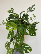 "Load image into Gallery viewer, Monstera Adansonii - Swiss Cheese Plant - 6"" Hanging Basket"