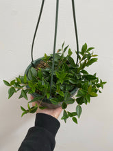 "Load image into Gallery viewer, Peperomia Angulata - 6"" Hanging Basket"