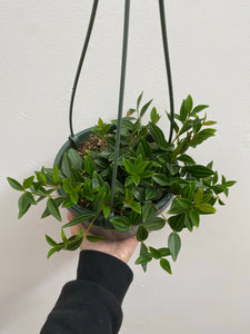 "Peperomia Angulata - 6"" Hanging Basket"