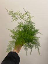 "Load image into Gallery viewer, Asparagus Plumosus aka ""Asparagus"" Fern"