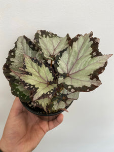 Begonia Rex - Royal Crown