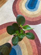 Load image into Gallery viewer, Peperomia Clusiifolia - Red Margin