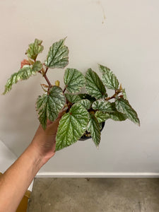 "Angel Wing Begonia ""Frosty"" 4"""