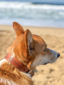 Image of corgi at a beach wearing custom instagram collar with instagram logo and handle @ stanleytails.