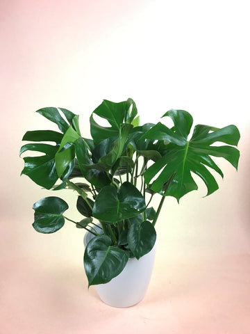 large monstera plant in white pot