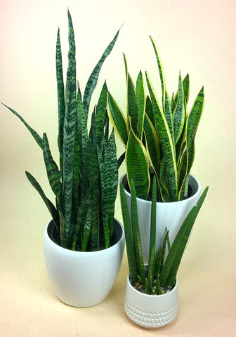 three kinds of snake plants in white pots