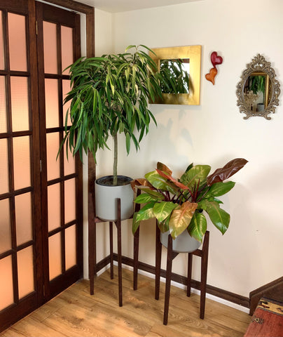 plant stand with ficus alii and philodendron congo rojo