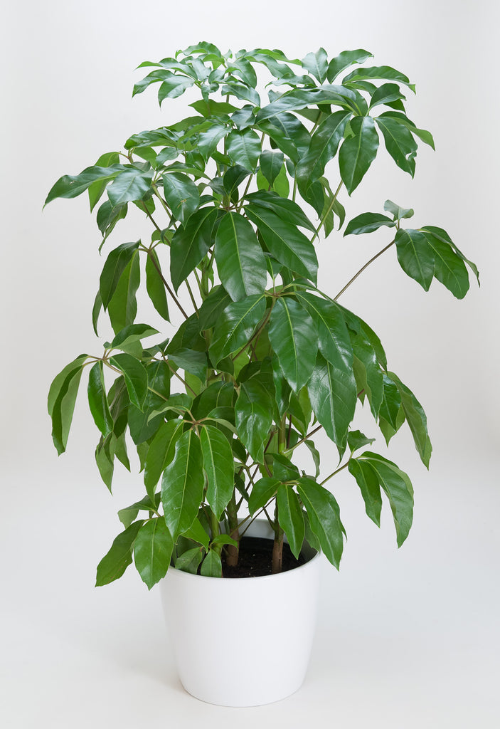 Schefflera Amate (Umbrella Tree)