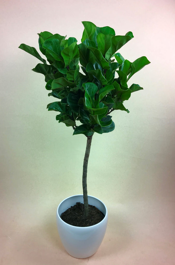 Ficus Lyrata (Little Fiddle Leaf Fig)