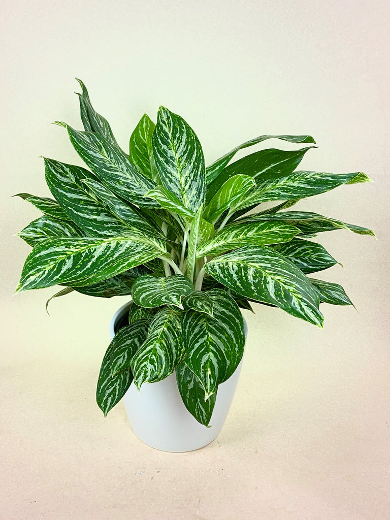 Aglaonema Golden Madonna (Chinese Evergreen)